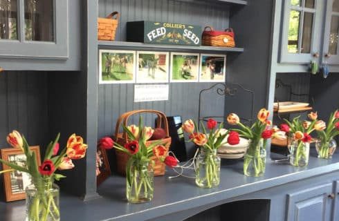 A row of mason jars filled with red and striated tulips on a large blue painted cabinet.